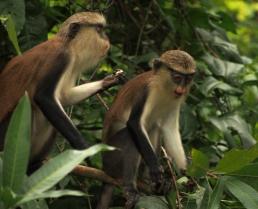 Mona monkeys in Ghana