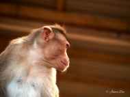 Mysore temple monkey, India