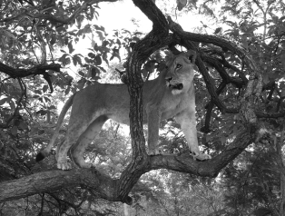 Maasai the beautiful Lioness who let me walk with her... eventually.