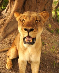 Maasai the Lioness
