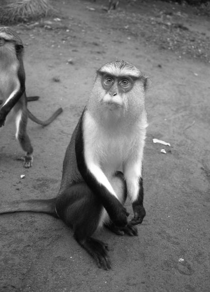 Wild mona monkeys, Ghana