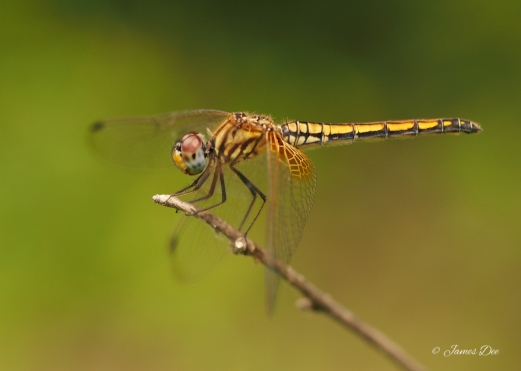 Dragonfly, India