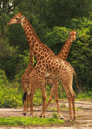 Wild giraffes in Senegal.