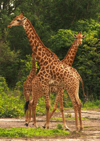 Wild giraffes in Senegal.