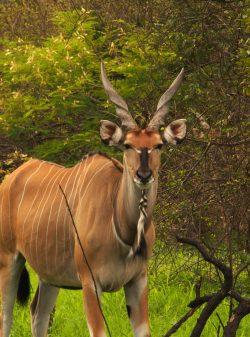 Giant Eland Antelope, Senegal