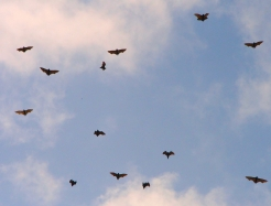 Wild bat colony in flight, Ghana