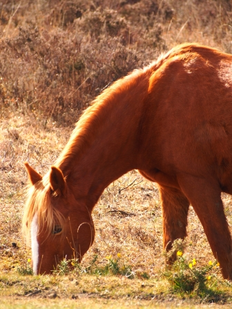 A wild horse in the New Forest national park.
