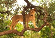 Masai the Lioness