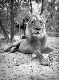 Fathala Reserve with male lion.