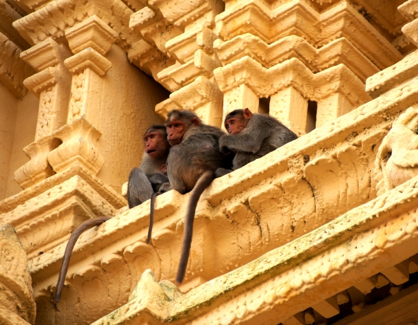 Temple monkeys, Mysore. 2015