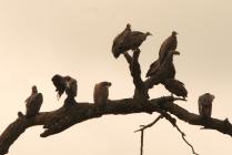 Wild Vultures