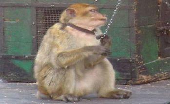 monkeys-mistreatment-morocco
